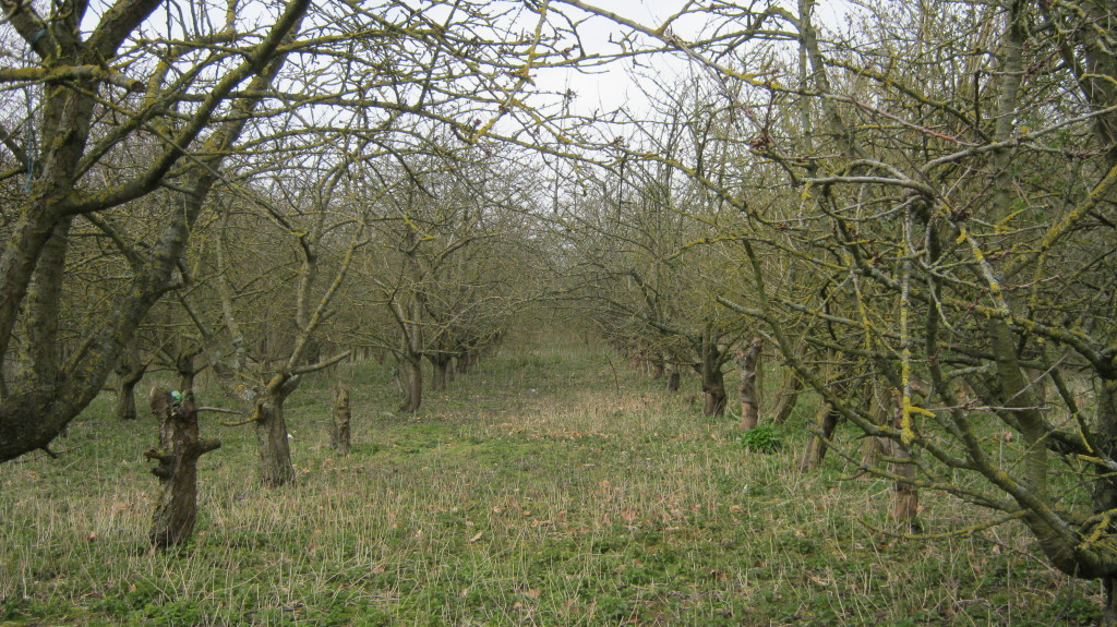 Cherry orchard at Ospringe, by M McCarthy